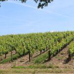 Vignoble de Vendée à Mareuil
