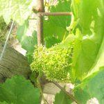 Une coccinelle sur une vigne - Vendée - 85