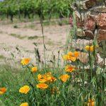 Le respect de l'environnement dans les vignes de Fabien Murail à Mareuil en Vendée