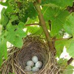 Un nid dans une vigne - Mareuil-sur-Lay - Vendée