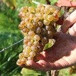 Récolter le vin dans le respect de l'environnement
