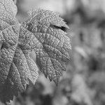 Gros plan feuille de vigne noir et blanc