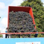 Récolte de vin au vignoble Murail