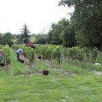 Récolte dans les vignes à Mareuil-sur-Lay