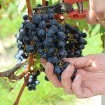 Récolte du raisin à la main en Vendée
