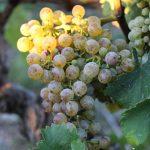 Les vignes de Fabien Murail à Mareuil en Vendée