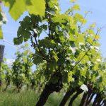 Vignoble Murail - appellation d'origine contrôlée Fiefs Vendéens Mareuil